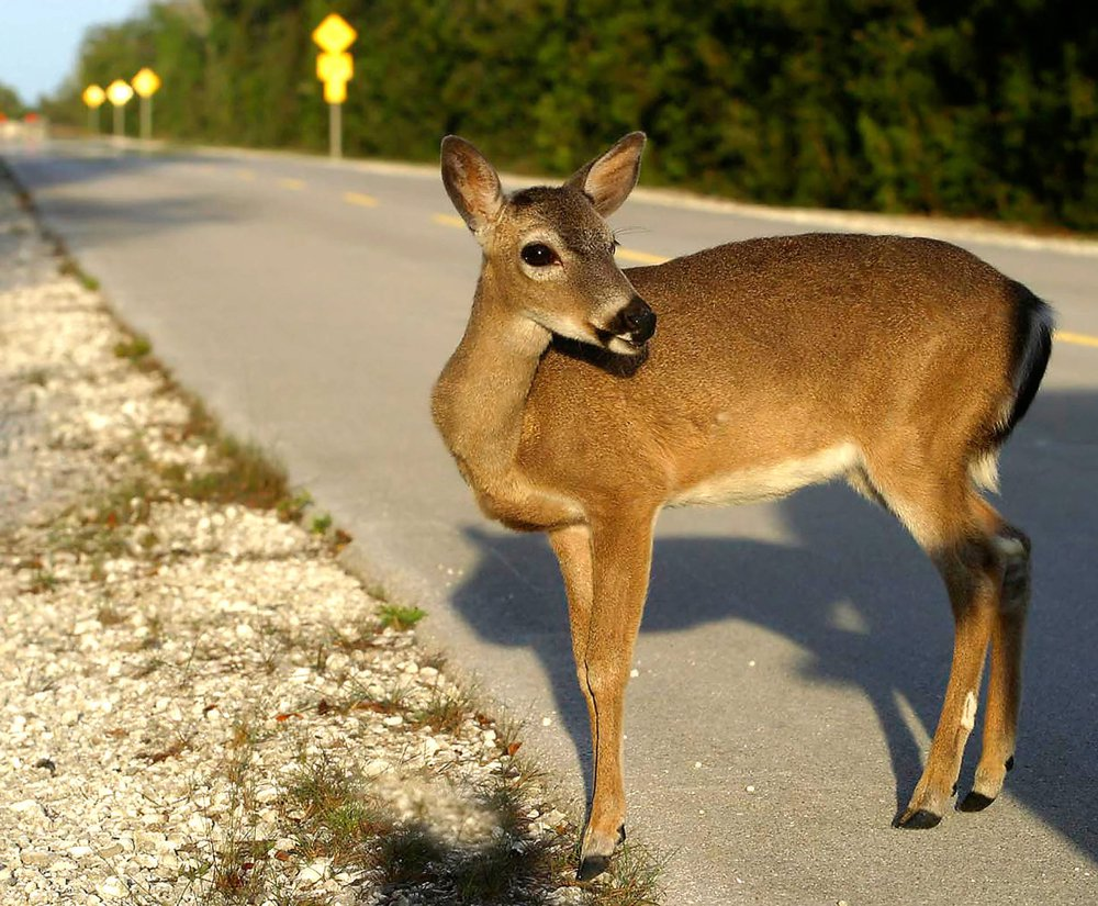 Don_t_hit_the_deer