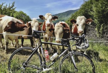 cows and road bicycle